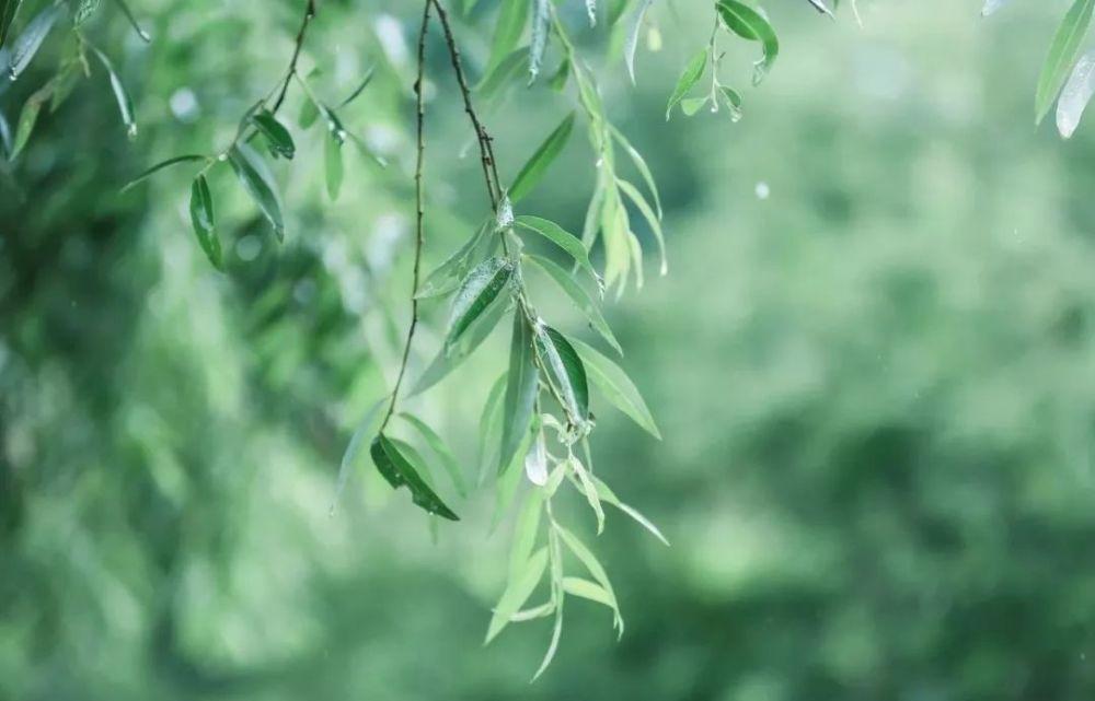Willow leaves, rain solar term