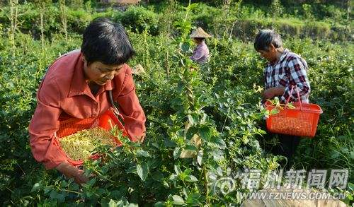 Chinese peasant picking osmanthus blossoms, Fujian Province