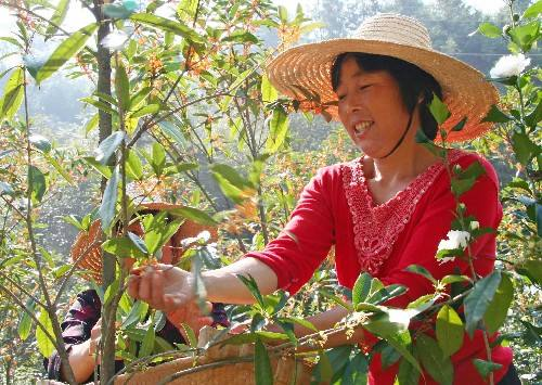 Chinese peasant picking osmanthus blossoms, Anhui Province