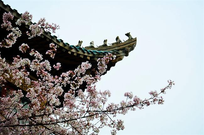 Wuhan University, early cherry blossoms