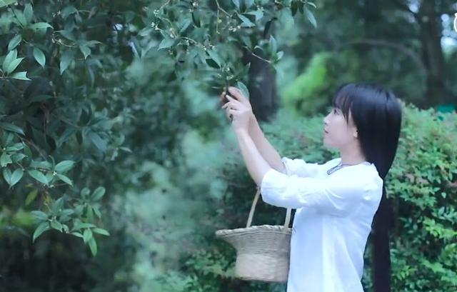 Li Ziqi, osmanthus blossoms picking