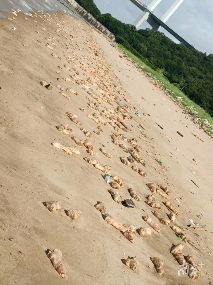 Trotters Appeared on Humen Beach in Guangdong