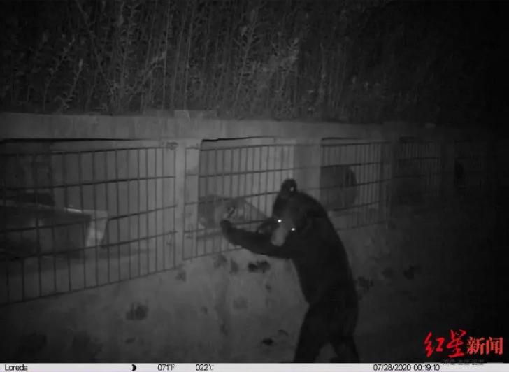 A Black Bear Steals Honey into Village